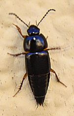 Tachinus rufipes