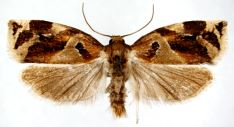 Archips xylosteanus