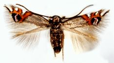 Leucoptera lustratella