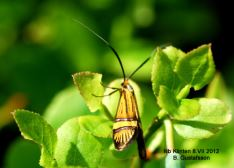 Nemophora amatella