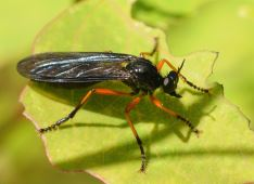 Dioctria oelandica