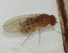 Drosophila phalerata