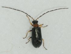 Luperus flavipes