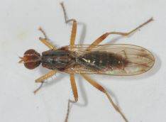 Norellia spinipes