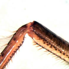 Corixa dentipes