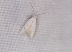 Elachista distigmatella