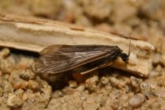 Hydropsyche angustipennis